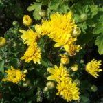 Chrysanthemum Youpi Citron - Perennial Plant