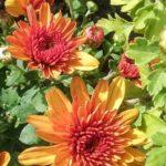 Chrysanthemum Youpi Caramel - Perennial Plant