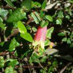 Correa reflexa var scabridula - Australian Native Plant