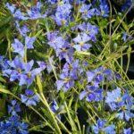 Dampiera pedunculata - Australian Native Plant
