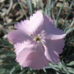 Dianthus graniticus - Perennial Plant
