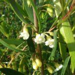 Eremophila deserti - Australian Native Plant