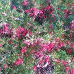 Grevillea lavandulacea Mount Hayfield form - Australian Native Plant