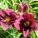 Hemerocallis Velvet Eyes