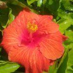 Hibiscus Firebird