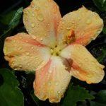 Hibiscus Orange Pride