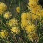 Melaleuca uncinata - Australian Native Plant