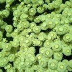 Santolina Edward Bowles - Perennial Plant