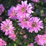 Aster Ruby Buttons - Perennial Plant