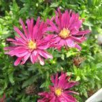 Aster Winston Churchill - Perennial Plant