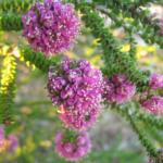 Phymatocarpus porphyrocephalus - Australian Native Plant