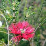 Regelia ciliata - Australian Native Plant