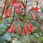 Bryophyllum manginii