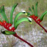 Anigozanthos manglesii - Australian Native Plant