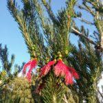Calothamnus validus - Australian Native Plant