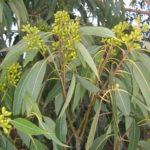Eucalyptus scias ssp callimastha - Australian Native Tree