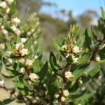 Hakea oleifolia - Australian Native Plant