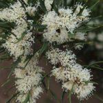 Hakea varia - Australian Native Plant