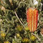 Banksia ericifolia Red Rover - Australian Native Plant
