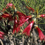 Calothamnus oldfieldii - Australian Native Plant