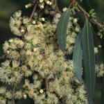 Eucalyptus brockwayi - Australian Native Tree