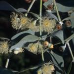 Eucalyptus cinerea - Australian Native Tree