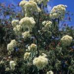Eucalyptus curtisii - Australian Native Tree