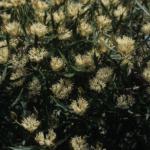 Hakea florida - Australian Native Plant