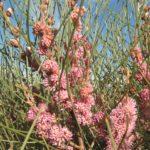 Hakea invaginata - Australian Native Plant