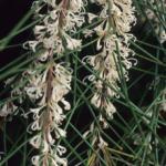 Hakea macraeana - Australian Native Plant