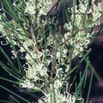 Hakea ochroptera - Australian Native Plant