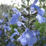 Salvia azure var grandiflora - Perennial Plant