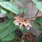 Lasiopetalum macrophyllum - Australian Native Plant