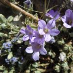 Campanula celsii - Perennial Plant