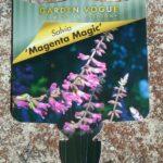 Salvia Magenta Magic