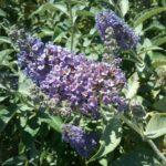 Buddleia Lochinch - Perennial Plant