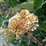 Buddleia x weyeriana - Perennial Plant