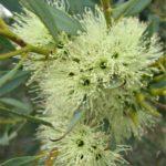Eucalyptus xanthonema - Australian Native Plant