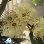 Eucalyptus yalatensis - Australian Native Tree