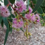 Eucalyptus albopurpurea - Australian Native Plant