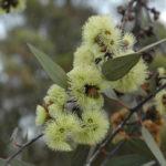 Eucalyptus desmondensis - Australian Native Plant