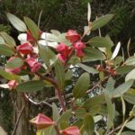 Eucalyptus tetraptera - Australian Native Plant