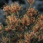 Hakea circumulata - Australian Native Plant