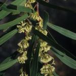 Hakea salicifolia - Australian Native Plant