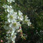 leptospermum polygalifolium - Australian Native Plant