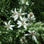Olearia lepidophylla - Australian Native Plant