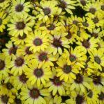 Osteospermum Blue Eyed Beauty - Perennial Plant