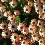 Osteospermum Bronze Bicolour - Perennial Plant