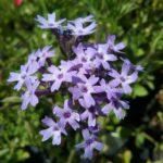Verbena corymbosa - Perennial Plant