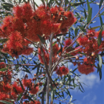 Eucalyptus erythronema - Australian Native Plant